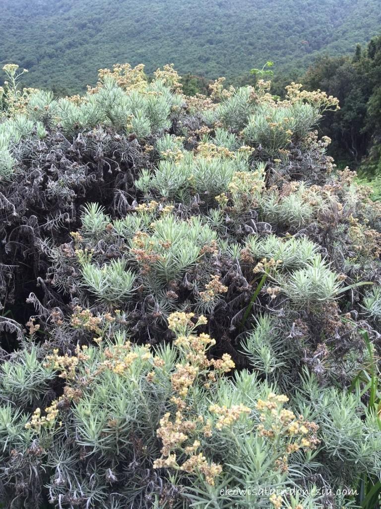 Bunga Edelweis Papandayan